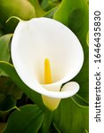 White Arum Lily Flowers  Close...
