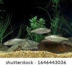 Chub  Alburnoides Bipunctatus ...