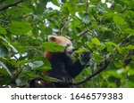Red Panda  Ailurus Fulgens  In...