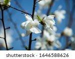 Nice White Magnolia Tree...