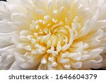 Close up of a large white chrysanthemum flower with a yellow core. Background, wallpaper.