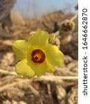 Small photo of Adenium multiform yellow flower in the forest