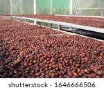 Dried Robusta Coffee Cherry....
