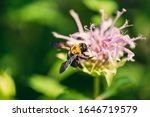 Close Up Of A Bumblebee On A...
