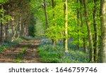Track Through English Bluebell...