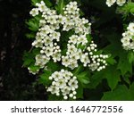 Small photo of detail of hawthorn bush, Crataegus monogyna, ohter common names oneseed hawthorn, or single-seeded hawthorn, white blossom of shrub, treating cardiac insufficiency, medicinal plant