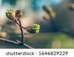 Tree Buds In Spring. Young...