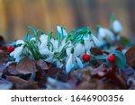 Snowdrops Or Common Snowdrops ...