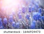 Spring Muscari Hyacinth Flowers....