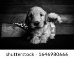 Goldendoodle Puppy. Only A Few...