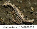 Decompsing Deer Skeleton On A...