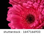 Beautiful Blooming Pink Gerbera ...