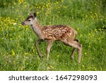 Small photo of Red Deer, cervus elaphus, Fawn with Flowers