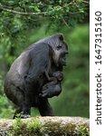 Eastern Lowland Gorilla ...