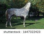 Pure Spanish Horse Or Pre ...