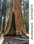 the basis of a sequoia in... | Shutterstock . vector #164742674