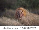 A Male Lion Having A Full Of...