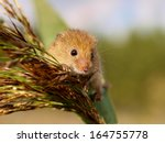 Harvesting Mouse (Micromys minutus) in it's Natural Habitat - stock photo