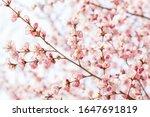 Peach Flowers Blossom In Sprin...