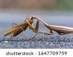 One Praying Mantis Eats Another