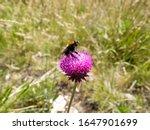 A Bumblebee Pollinating A...