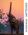 Elephant Bull Reaches For...