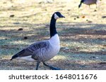 A Profile Of A Goose As It...