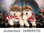 Puppy New Year's Puppy Alaskan...