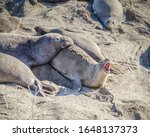 A female Elephant Seal (Mirounga angustirostris) bellows in protest as a male bull tries to mount her, at Piedras Blancas, San Simeon, CA.