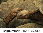 Close-up photo of Two Giant tortoises between other tortoises in Isabela Island, Galapagos Island, Ecuador.