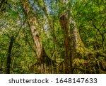 Small photo of One Of Taiwan's Top Giant Tree (Divine Tree) At The Divine Tree Zone (Giant Tree Forest), Qalang Smangus (The Tribe of God), Jianshi, Hsinchu, Taiwan