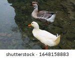 An Amazing Pair Of Wild Ducks ...