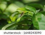 Leptocorisa Oratorius Or Rice...