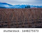 Raspberry canes near Everson with smoke against mountains  w Sisters peaks in the distance, Washington.