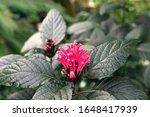 Pink Brazilian Plume Flower....