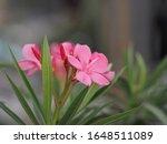Sweet Oleander Rose Bay  Neriu...