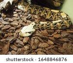 Venomous gaboon viper  bitis...