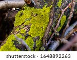 Lichens, green fungi and blue algae, as growths on the bark of trees and logs from high humidity in the spring, after the winter period and rainy days