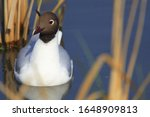 Single Black Headed Gull  ...