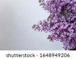 A Branch Of Blossoming Lilac ...