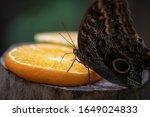 Owl Butterfly  Caligo...