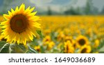 One Large Sunflower  Located O...