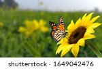 Monarch butterfly on flower....