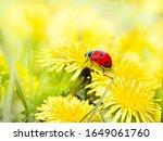 Ladybug On Yellow Flowers...