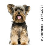 Stock photo front view of a yorkshire terrier sitting panting months old isolated on white 164913734