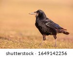 Small photo of Portrait of Eurasian rook (Corvus frugilegus). Rook on earth looking for food.