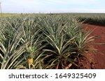 Pineapple Field At Honolulu...