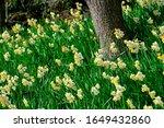 Wild Flower Daffodil In Blossom