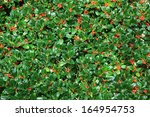 Holly Bush Hedge With Berries ...