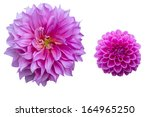 two breeds of pink dahlia on... | Shutterstock . vector #164965250